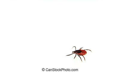 Entsifalitny mites crawling on white surface. Blood sucking ...