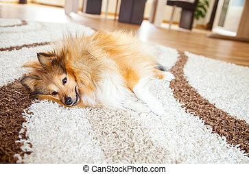 entspanntes, shelty, hund, lies, auf, teppich
