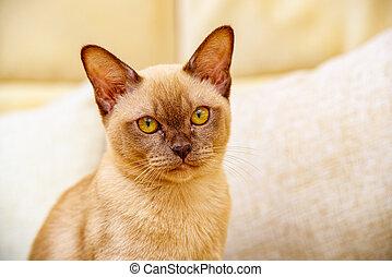 entstehen, kakau, thailand, farbe, katzenkinder, rasse, einheimische katze, birmanisch, geschenk, thai-burma., haben, believed, katz, ihr, wurzeln