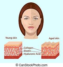 envelhecido, -, médico, vetorial, pele, dois, rosto, ilustrações, cosmetological, tipos, jovem