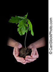 Environment - Young oak in careful human hands