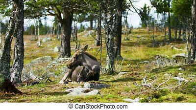 Environmental portrait of young moose calf rests on the...