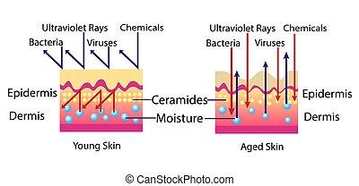 environnement, effet, illustration, peau, vecteur, diagramme, cosmetological