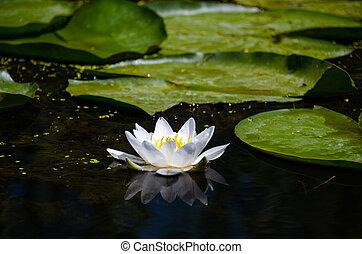 environnement, lis, fleur, naturel, feuilles, eau, suivant, grand, blanc vert