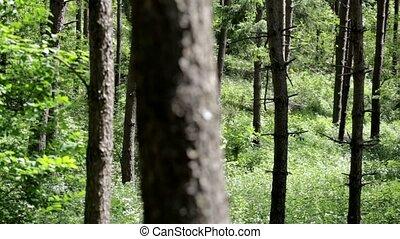 environnement, naturel, coup, ensoleillé, arbres, forest., par, pin, panoramique, regarder, jour