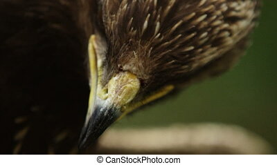 Epic close-up macro portrait of a predator bird blinking its...