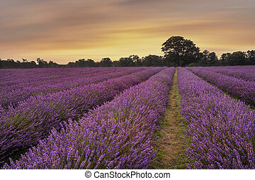 Epic vibrant warm Summer sunset over epic lavender field landscape