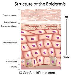 epidermis, de, el, piel