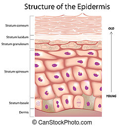 Anatomy of the epidermis, the outmost layer of human skin