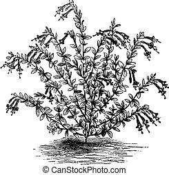 Epilobium canum or Zauschneria vintage engraving