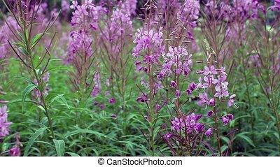 epilobium flower, fireweed - epilobium Flowering, From the...