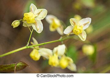 Epimedium flower in the garden