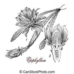 Epiphyllum, botanical vintage engraving