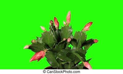 Epiphytic cactus. Red schlumbergera