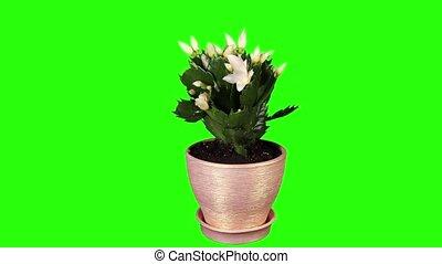 Epiphytic cactus.