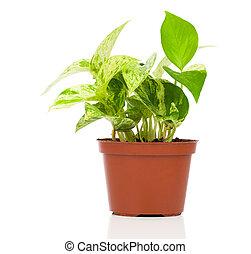 Epipremnum aureum (family Araceae) plant in pot, isolated on...
