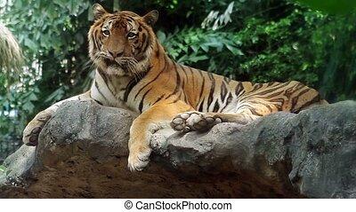 episch, tiger