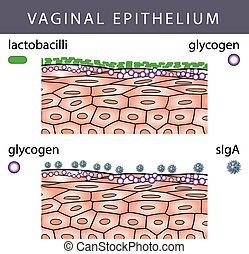 epitel, glykogen, vaginal