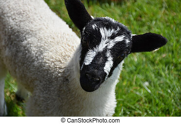 Eppnyt Hill Lamb in Northern England on a Farm