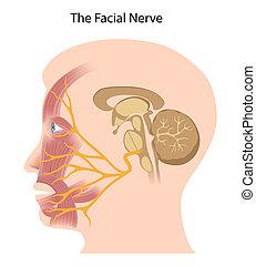 eps10, facial, nervo
