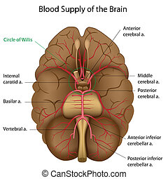 eps10, sanguine, cerveau, fourniture