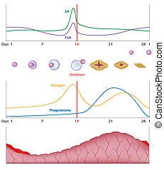 eps10, sessuale, ciclo, femmina