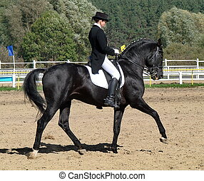equestrian sportswoman riding black stallion horse in...