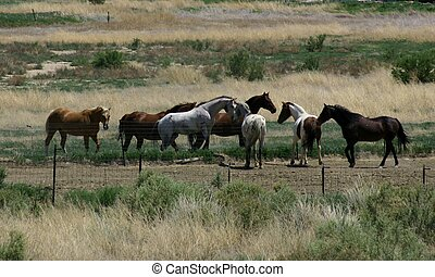 Equine encounters - Two small bands of horses, demonstrating...