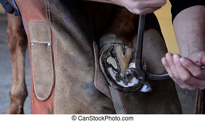 equine farrier at work - laying a horseshoe