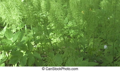 Equisetum arvense, the field horsetail or common horsetail, ...