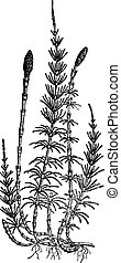 Equisetum sylvaticum (horsetail), vintage engraving. -...