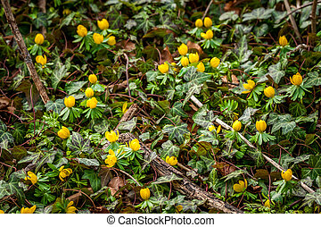 Eranthis and ivy in the garden