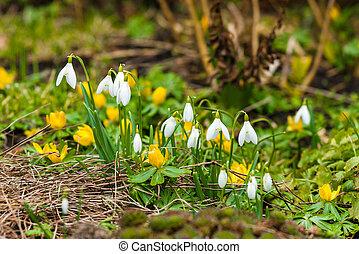 Eranthis and snowdrop flowers in a garden