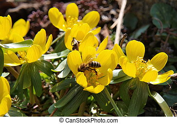 eranthis, flor, abelha