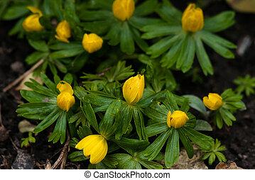Eranthis flowers in a flowerbed