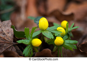 Eranthis hyemalis, early bloomers