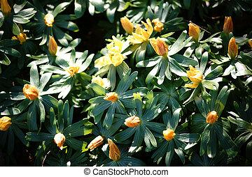 eranthis, hyemalis, flores, amarela
