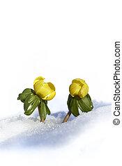 (eranthis, inverno, hyemalis), cobertura, neve, cima, tarde,...