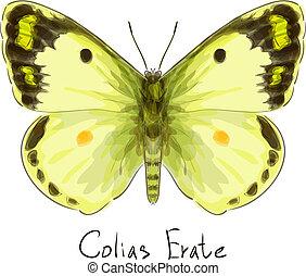 erate., colias, borboleta, aquarela, imitation.