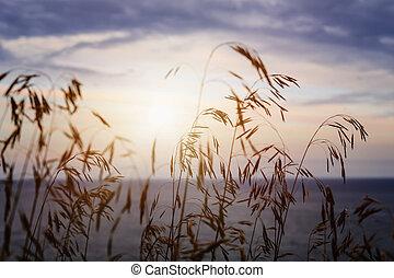 erba, a, tramonto
