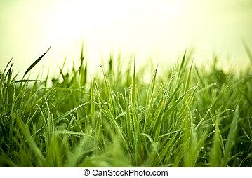 erba, con, gocce rugiada