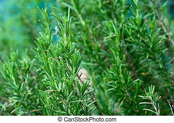 erba, rosmarino, aromatico
