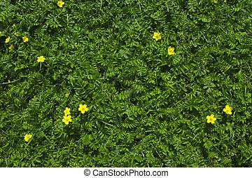 erba, verde, silverweed, fondo
