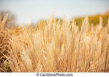 erbe, approaches., divisione, riscaldare, tonal, arancia, layers., immagine, cielo, tempestoso, lungo, autunno, orizzonte, morbido, giramento, giallo, prato, naturale