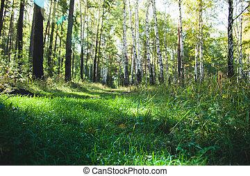erdő, alatt, a, kora reggel