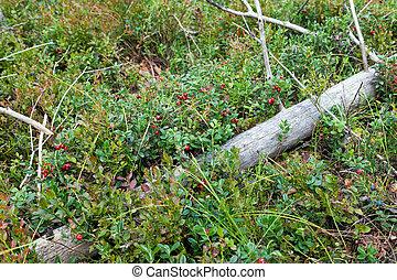 erdő, bokor, cranberries, érett, gyümölcs