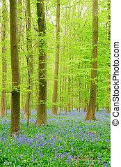 erdő, csillagvirágok