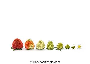 erdbeer, wachstum, freigestellt, weiß