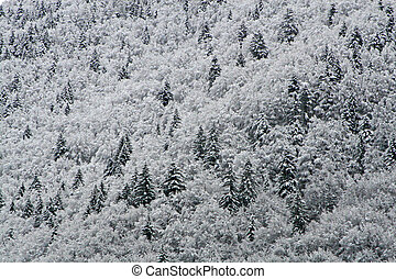 erdei fenyők, és, emésztődik, befedett, noha, white hó, a hegyekben