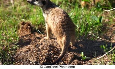 erdmännchen, -, suricate, auf, sonnenuntergang